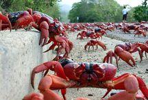 z Crustaceans  crabs lobsters prawns shrimp krill