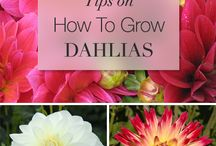{for the LOVE of Dahlias}