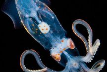 Earth's Final Frontier - The Mysterious World of Deep Sea / The organisms that found within critical surroundings always have bizarre outlook. The deep ocean is one of least explored places on Earth, also the home of  the most amazing deep ocean creatures