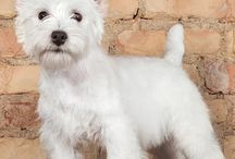 My favourite dog! / West Highland Terrier