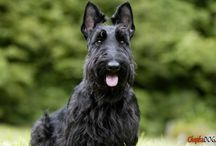 Scottish Terrier / FCI-Group 3, Section 2, N° 73