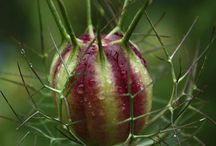 Nigella / Botanical Taxonomy