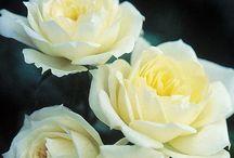 Sunblaze® Miniature Roses