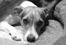 Gara / Gara es una jack russell terrier nacida el 12 de agosto del 2012. Es puro nervio y su mayor afición es jugar con cualquier tipo de peluche :-)