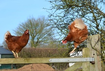 Our Free Range Hens / Here are some pictures of our Free Range Hens and the farm they live on .