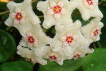 Mum Çiçeği( Hoya Flower)