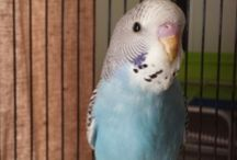 Benny the Budgie
