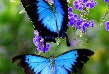 Kék Morpho lepkék / Szépséges lepkék