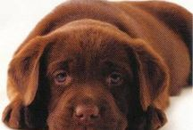 Chocolate Labs / Chocolate labs young and old, plus a few yellow and black labs, chocolate labrador, labrador, labs, dogs, dog mom, puppy, old dog, fur kids, labrador retriever, labrador puppies, english labrador retriever,