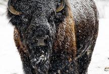 Bisons / Bisons