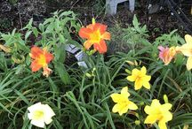 Dads Day-Lilies