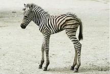 Zebra Love / by Carolin Breuer