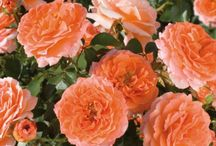 Roses for color and are easy to care for (Floribunda) / These are roses that provide lot's of color but are very easy to dead head or just let them bloom.