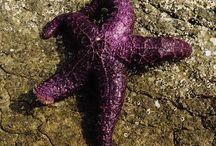 Purple Starfish :)