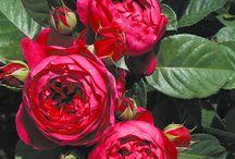 NOVINKY 2013 - růže / Nově v nabídce zásilkové služby růže označované jako nostalgické. http://starkl.com/go/nostalgie