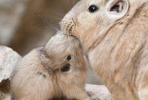 Gundi / Common Gundi - the cutest animal in the world!