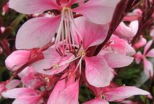 GAURA / Varieties and Colour