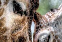 жирафы:)