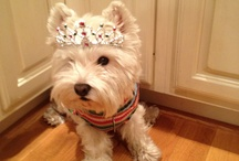 La Westie / Every design studio should have such a cute mascot.  We are lucky enough to have one.