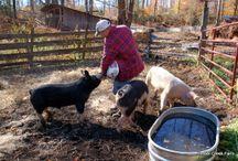 Pigs / Little piggy posts