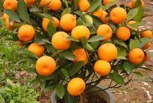 cultivo de frutales en maceta