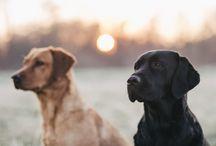 Labradore
