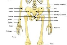 anatomia em francês