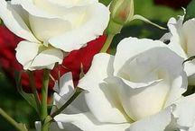 Rosa Branca!