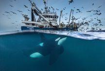 Фото дикой природы / На днях определились финалисты 52-го ежегодного фотоконкурса Лучший фотограф дикой природы 2016г. Вот снимки, покорившие строгое жюри:
