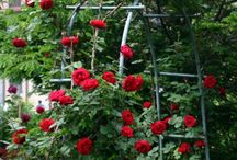 Roses / Our rose offerings for 2015 If you don't see what you want give us a call-we'll order it for you. 722-9909