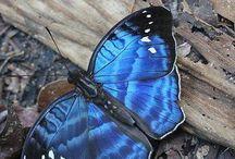 De Blauwe Vlinder