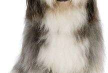 Bearded collie