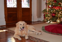 HOPE, the golden retriever / Hope is a golden retriever.  She is training to be a therapy dog and will test in January 2012. / by Trisha Oldfield
