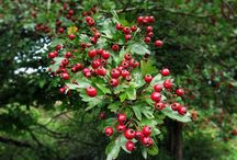 Hawthorn / Crataegus monogyna, known as common hawthorn or single-seeded hawthorn, is a species of hawthorn native to Europe, northwest Africa and western Asia.