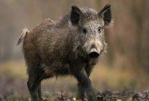 Pig boar