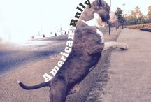 Iron / American bully