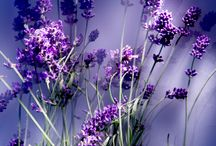 colorful mind * calming lavender