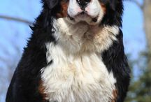 Berner Senner, no dog is cuter then these