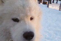 Snow dog / Samoyed +snow = happy #samoyed #snow dog # happy snow day