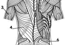 Back anatomy muscles