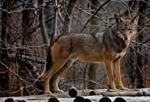 Southeast - Red Wolves / Endangered Red Wolves info and news