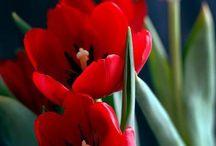 We Love Tulips / Images of Tulip's