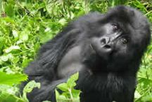 Primate Tours in Africa / Africa Tours and Safaris to see and interact with gorillas, chimpanzees and rare monkeys.