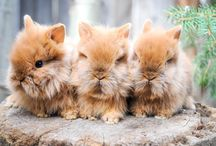lionhead rabbit collection