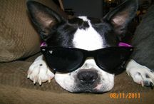 Boston Terriers In Eyewear / A collection of Boston Terriers wearing glasses, sunglasses and goggles!