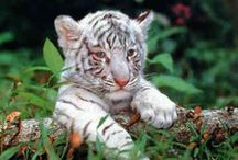 White Tigers <3