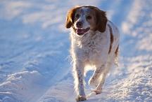 Epagneuls bretons, les meilleurs chiens.