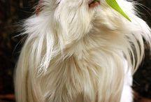 guinea pigs ♡