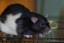 RatSity / крыски ищут дом