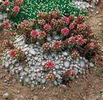 Plants for stonewalls